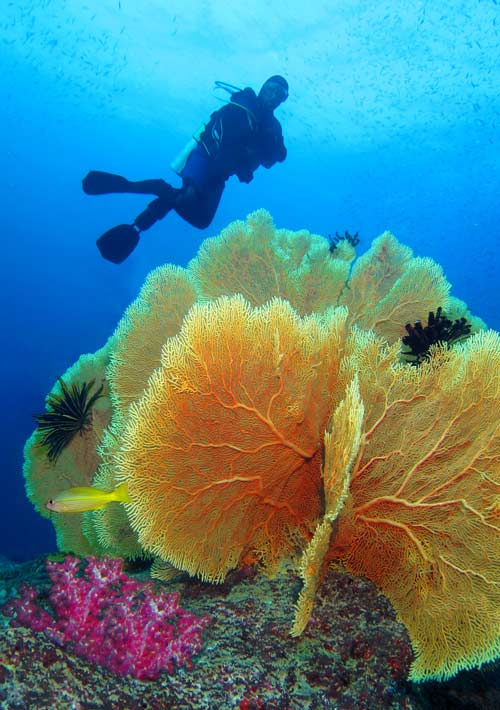 yellow Sea Fan and diver at Koh Tachai pinnacle