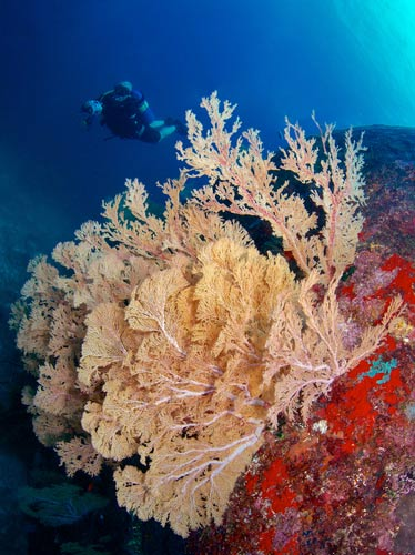 Gorgonian Sea fan at secret pinnacle North point