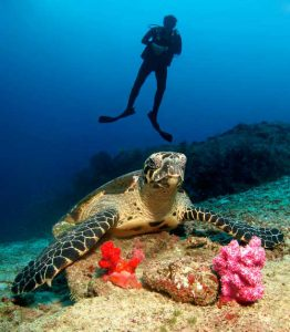 hawksbill turtle and diver at breakfast bend