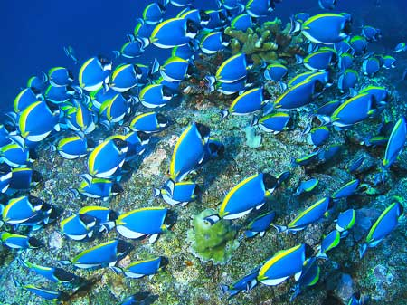 Big School of powder blue Surgeonfish