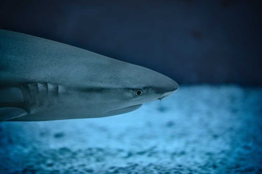 Close up of a shark head