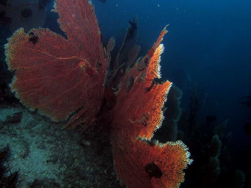 One of the many large sea fans seen diving near Chevalier Rock
